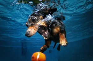 a-diving-dachshund-comp